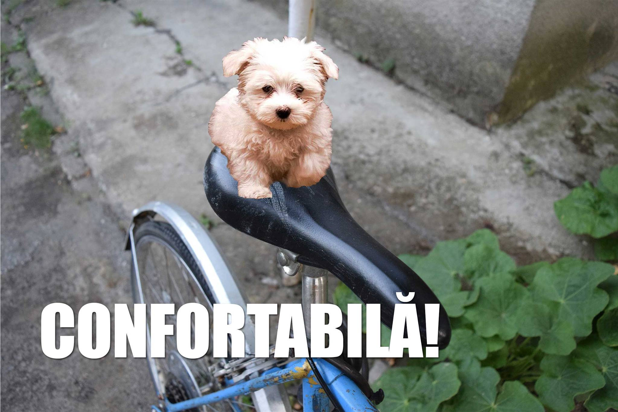 Bicicleta confortabila Toma Grozvescu